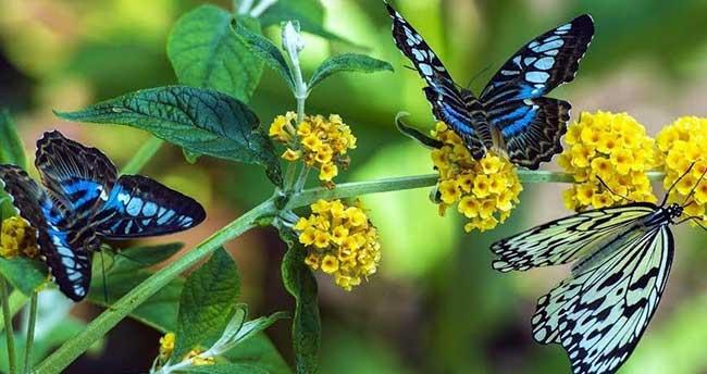 Kelebeklerin Ömrü Bilindiği Gibi Gerçekten de 1 Gün Müdür ?